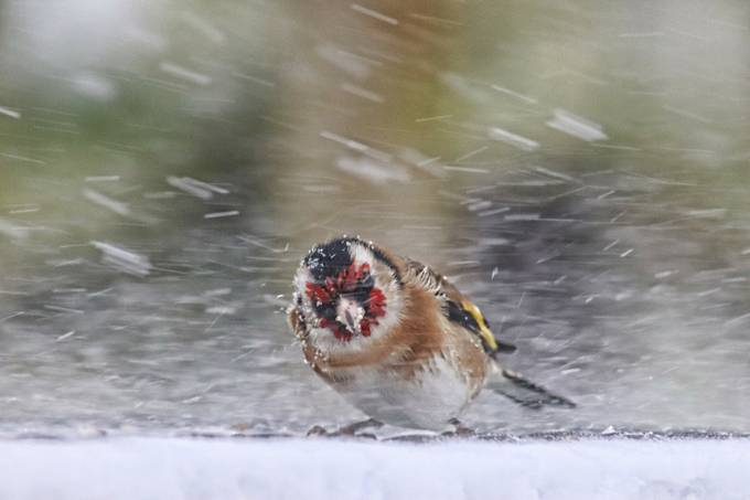 Goldfinch in a blizzard by JackieT - The Wonders of the World Photo Contest