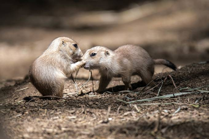 Prairie dogs-1 by riddles4509 - Celebrating Nature Photo Contest Vol 5