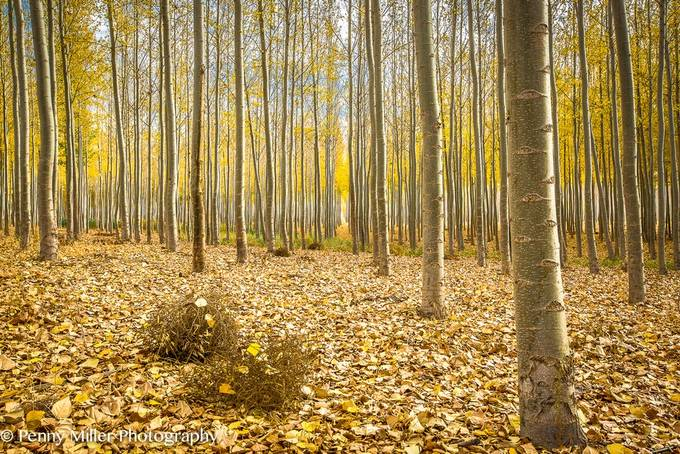 Boardman tree farm in fall by pennymiller - Celebrating Nature Photo Contest Vol 5