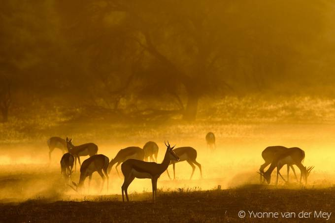Springbok in golden light by YvonnevanderMey - The Wonders of the World Photo Contest