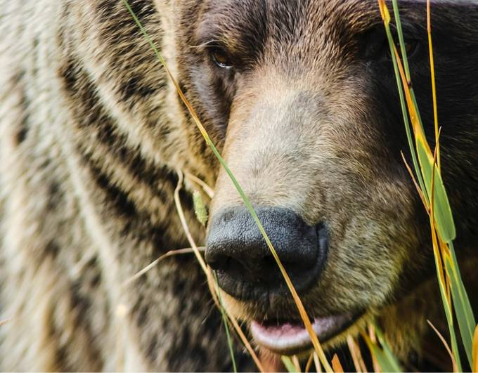Canadian Grizzly Bear  by LauraEMurray - Image Of The Month Photo Contest Vol 37