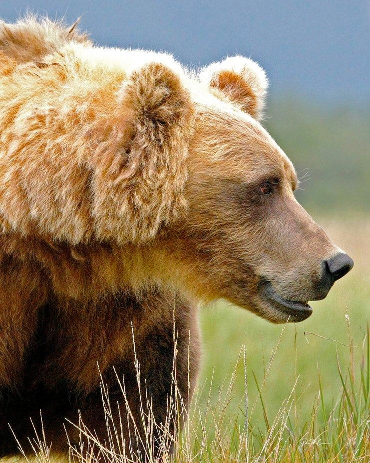 Grizzly Sow Profile, Hallo Bay, Katmai, Alaska by Jdmccranie - Monthly Pro Photo Contest Vol 45