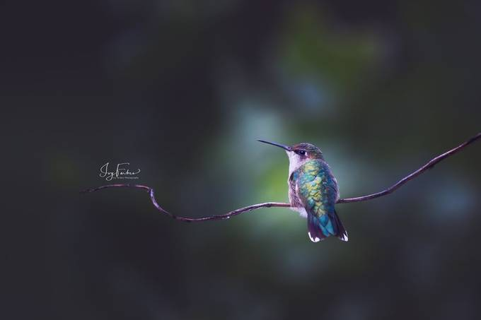 Ruby-Throated Hummingbird by Tulips - Image Of The Month Photo Contest Vol 37
