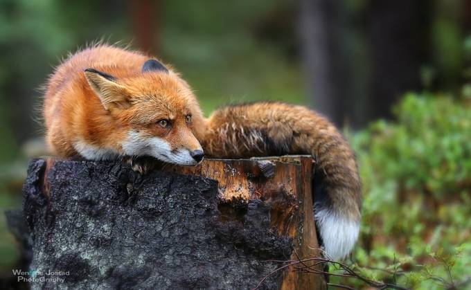 The Norwegian Red Fox  by wenchejostad - Image Of The Month Photo Contest Vol 37