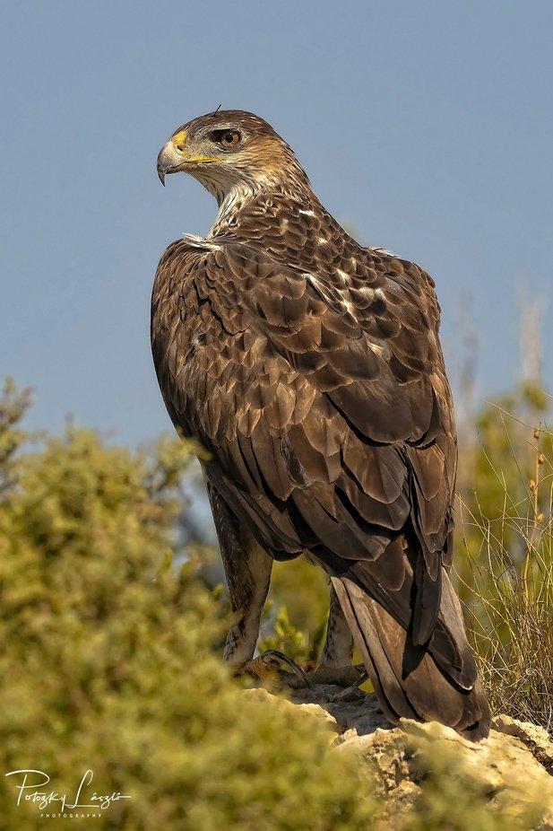 Female Bonelli's Eagle by lszlpotozky - Image Of The Month Photo Contest Vol 37