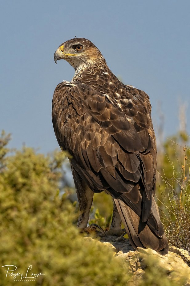 Female Bonelli's Eagle by lszlpotozky - Image Of The Month Photo Contest Vol 37