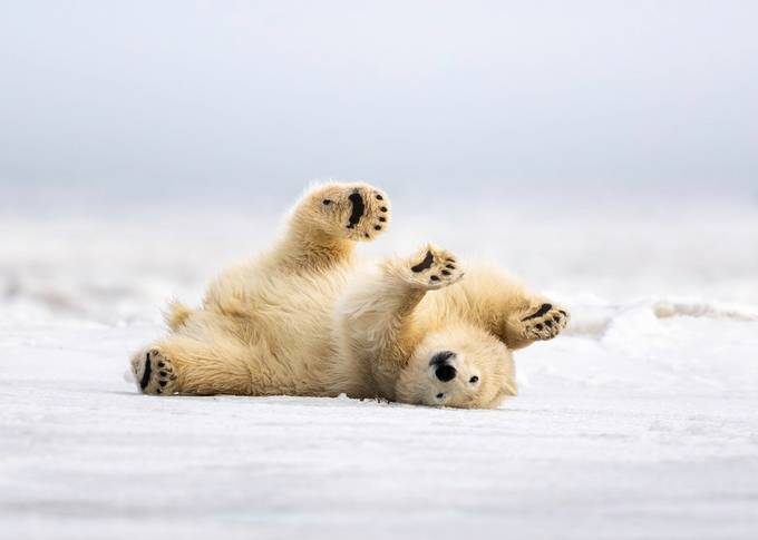 Polar Bear Scratch  by tomingramphotography - Covers Photo Contest Vol 51
