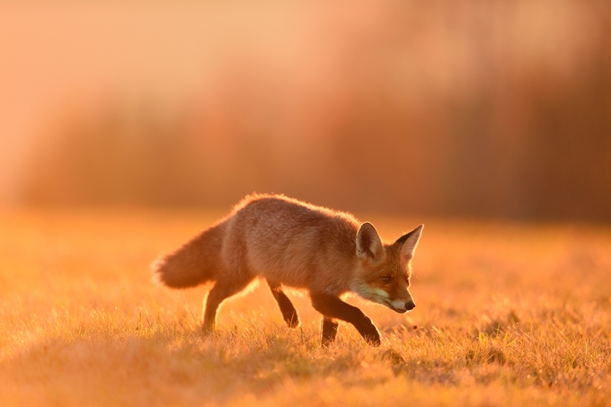 Walking fox  by EuroBen - Monthly Pro Photo Contest Vol 45