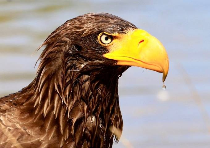 Steller's Sea Eagle by Serise - Covers Photo Contest Vol 51
