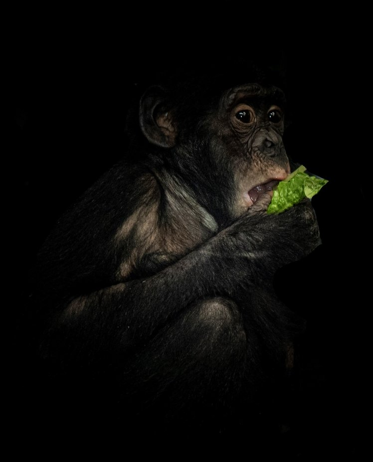 DSC_9717 Bonobo Monkey potrait (2) by BenDufeck - My Best New Shot Photo Contest