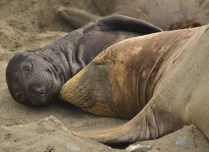 Julie Darby - Mother and baby elephant seal in Baja (Nature - PDI, SOM)
