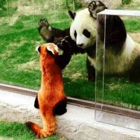 A Red Panda's Rescue Mission