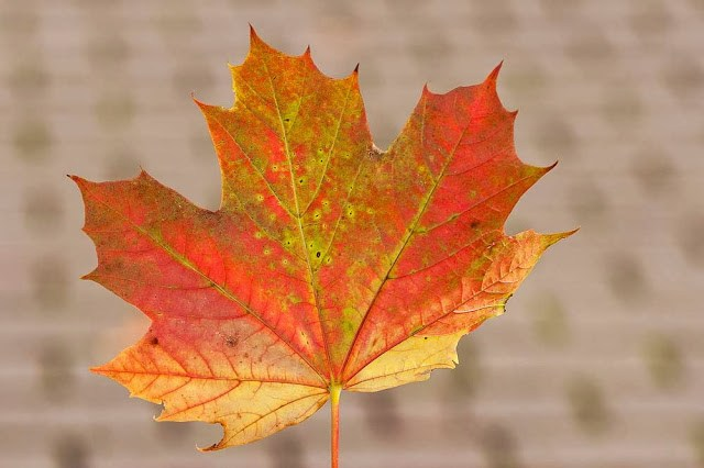 Maple Leaf (Actually I'm not really sure what type of leaf it is, my mind has gone blank!)