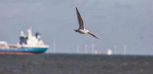 Herring gull flying over ships and wind turbines in Margate, UK - A week away with little birding