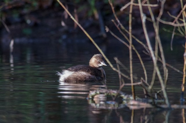 More winter plumage Little Grebe