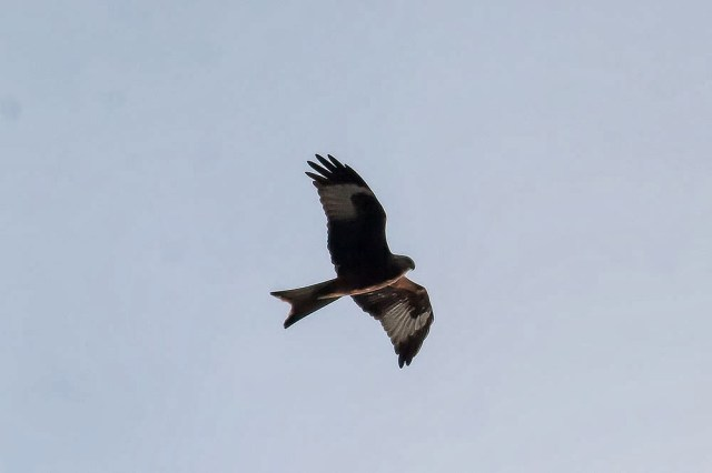 Red Kite over Bradwell Abbey