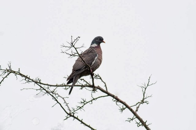 Wood Pigeon, Loughton Valley Park, Milton Keynes