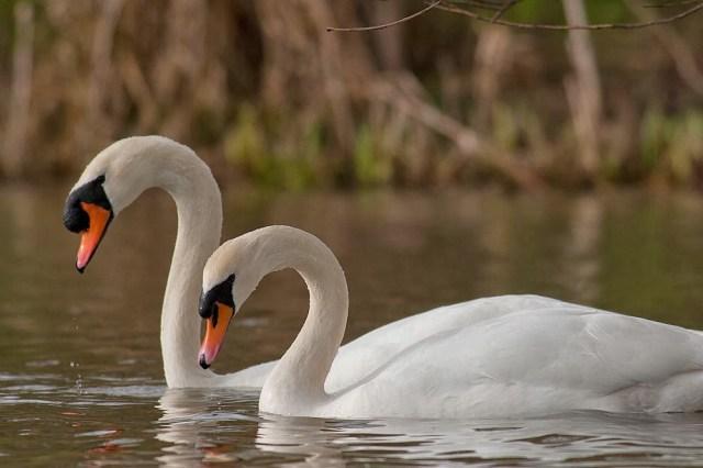 Synchronised Mute Swan dancing (2nd pose), Lodge Lake, Milton Keynes