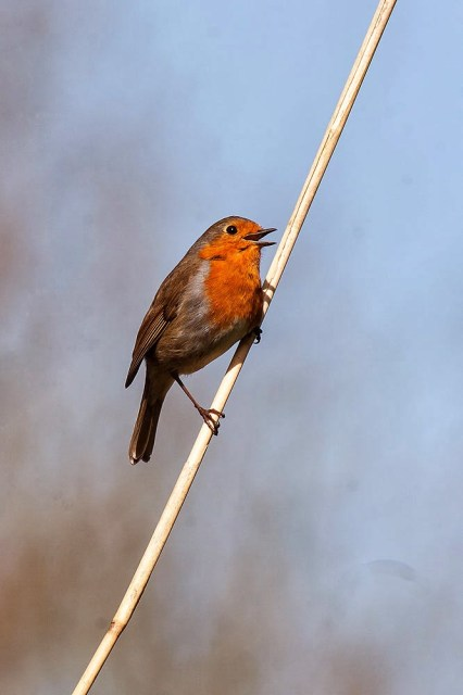European Robin - Lodge Lake, Milton Keynes
