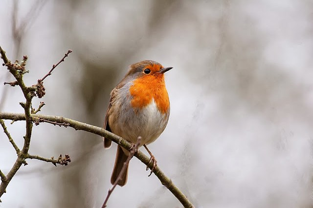 Robin - Another potential visitor in the UK