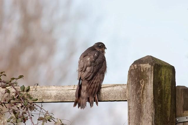Sparrowhawk - Milton Keynes