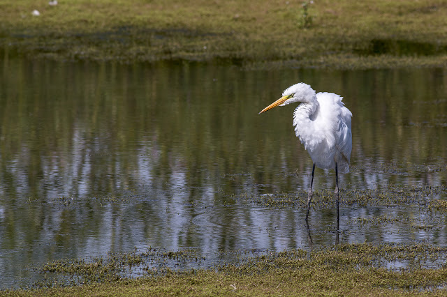 Great White Egret on the Floodplain Forest Nature Reserve