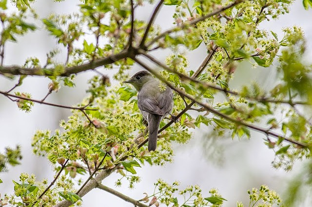 Blackcap - Lodge Lake, Milton Keynes