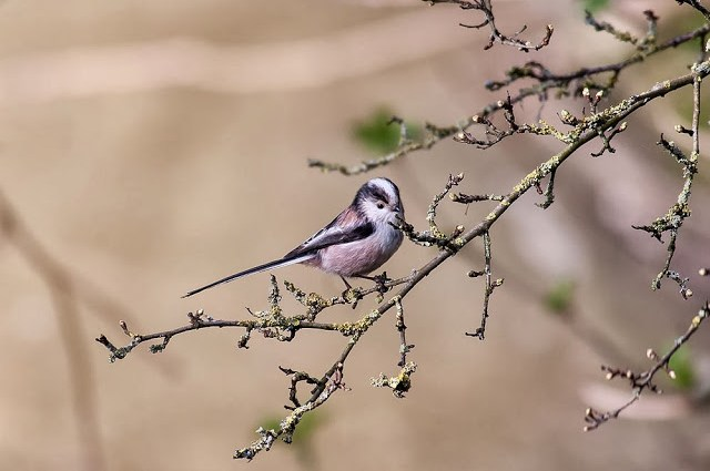 Long-tailed tits nest building