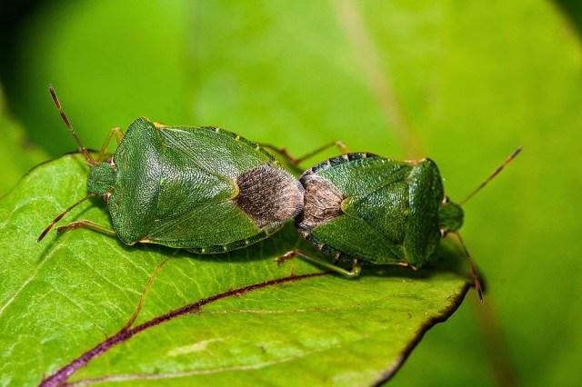 Common Green Shieldbug (mating) - Great Holm, Milton Keynes