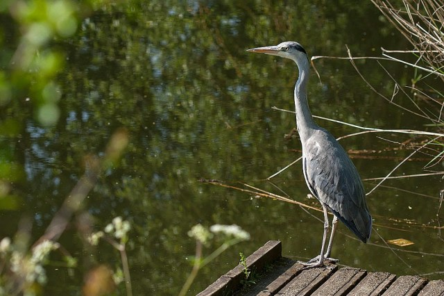 Grey Heron - Lodge Lake, Milton Keynes