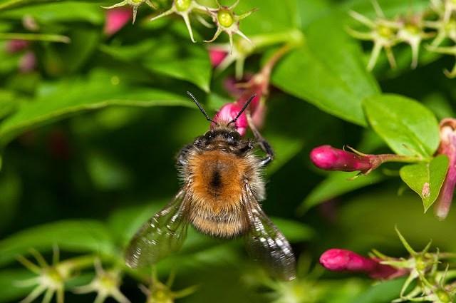 Bio Blitz - Common Carder Bee