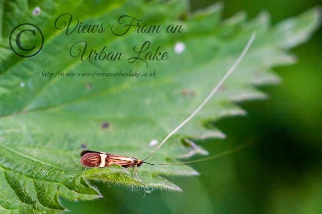 Nemophora Degeerella - Loughton Valley Park, Milton Keynes