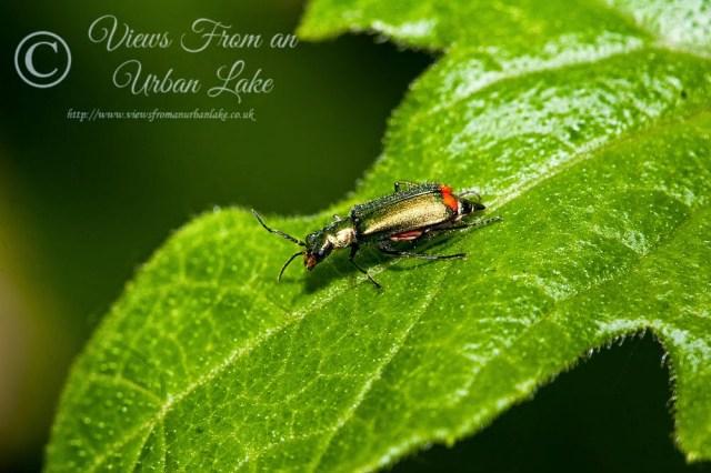 Red-tipped Flower Beetle - Loughton Valley Park, Milton Keynes