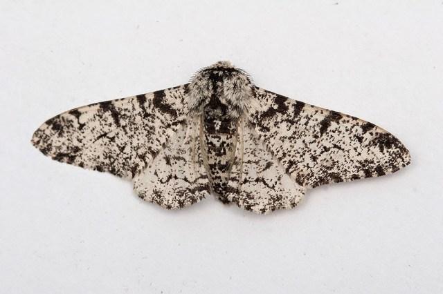 Peppered Moth (2 of 2) - Great Holm, Milton Keynes