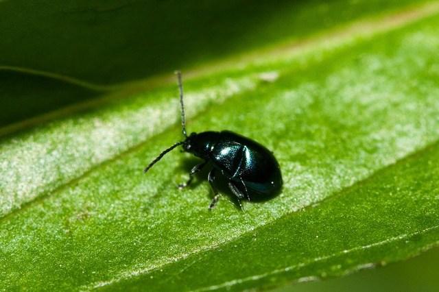 Unknown beetle - Great Holm, Milton Keynes