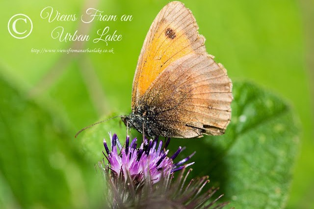 Meadow Brown - Wolverton Mill, Milton Keynes
