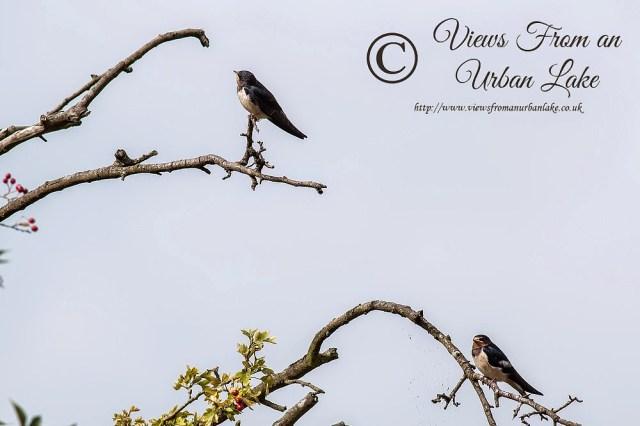 Young Swallows - Wolverton Mill, Milton Keynes