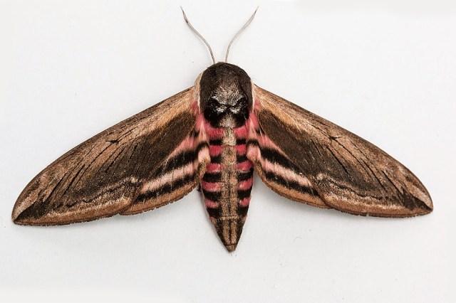 Privet Hawkmoth (one of the largest UK Moths) - Milton Keynes
