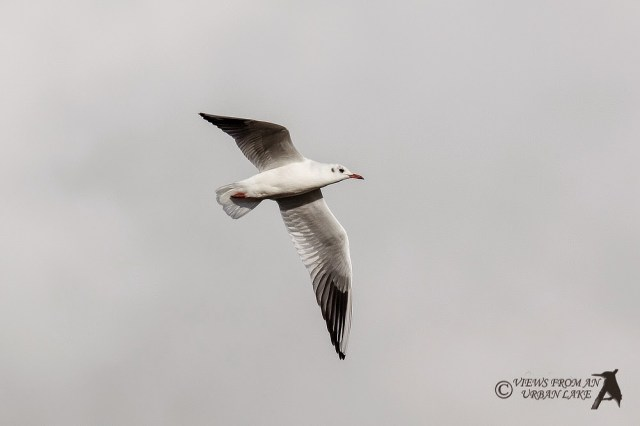 Black-headed gull in flight - Wolverton Mill, Milton Keynes
