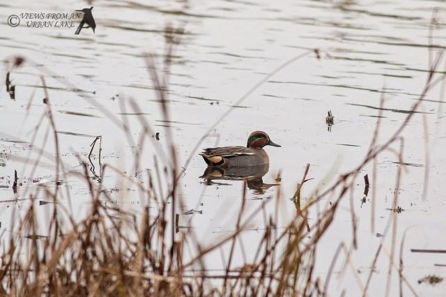 Eurasian Teal - Willen Lake, Milton Keynes