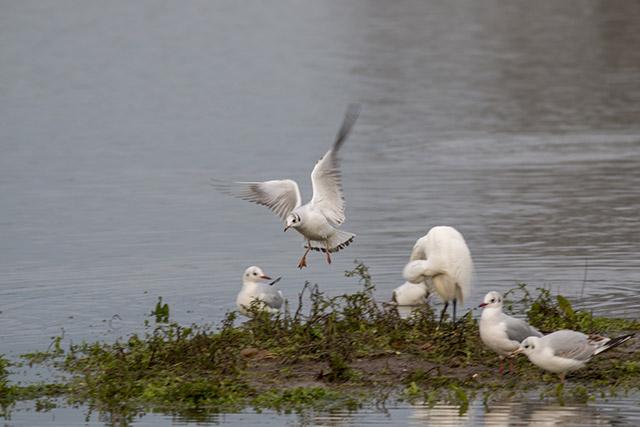 Black-headed Gull landing