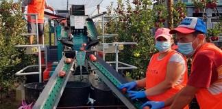 Campanya de temporers de la fruita a l'Empordà