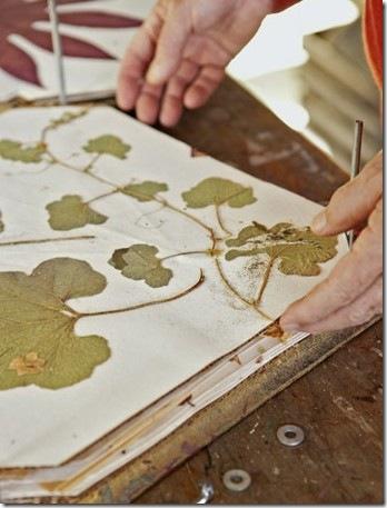 Folhas desidratadas em prensa de madeira e papel
