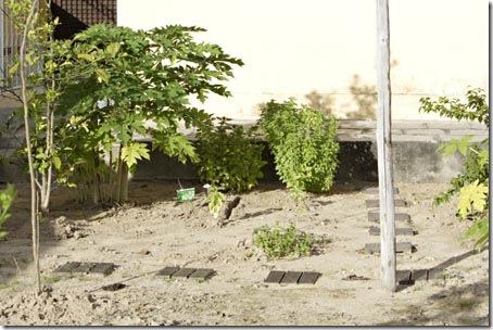 Essa é a nossa horta bem no começo, com o mamoeiro bem pequeno e os pés de manjericão e hortelã