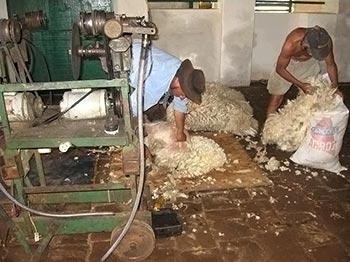 Tosquiando e ensacando a lã bruta