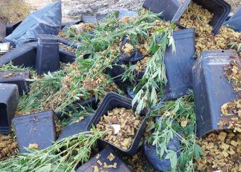 Abocament plantes de marihuana