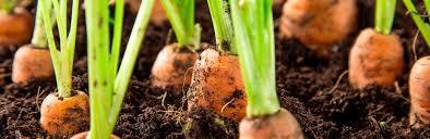 Cultivo de Cenouras Vila Verde