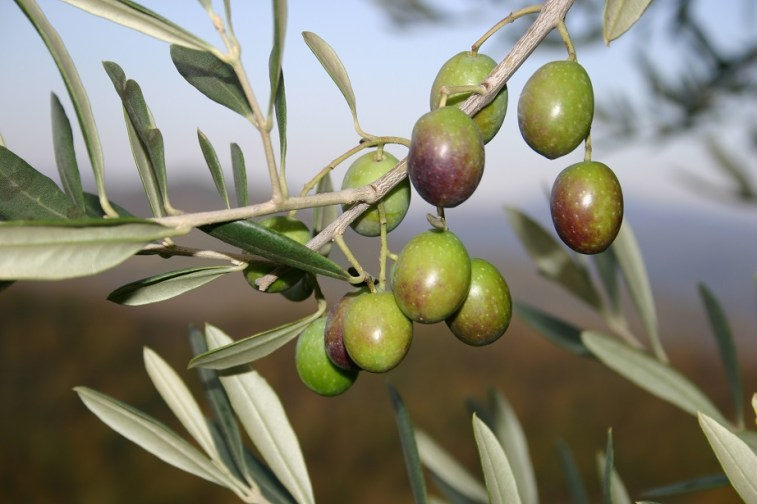 Olive grove at villa in Umbria