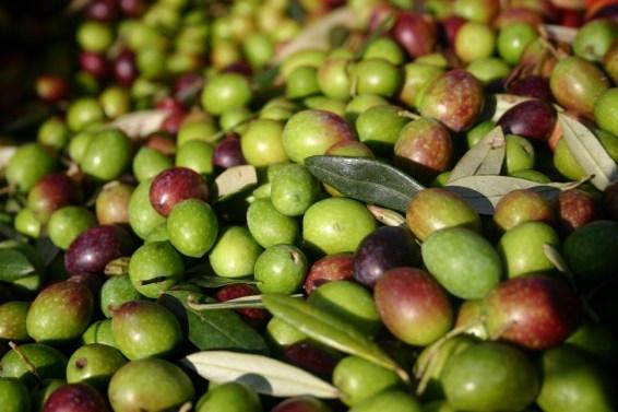 Olives at villa for rent in Umbria