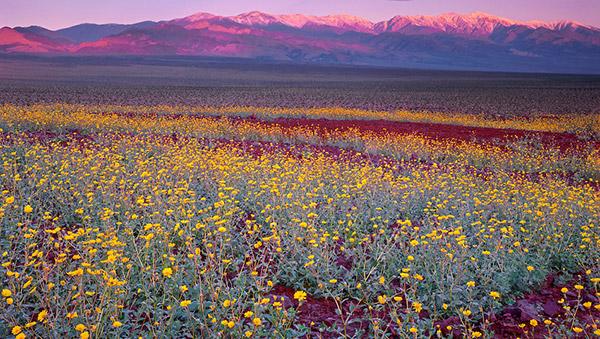 Death-Valley-Flowering_4